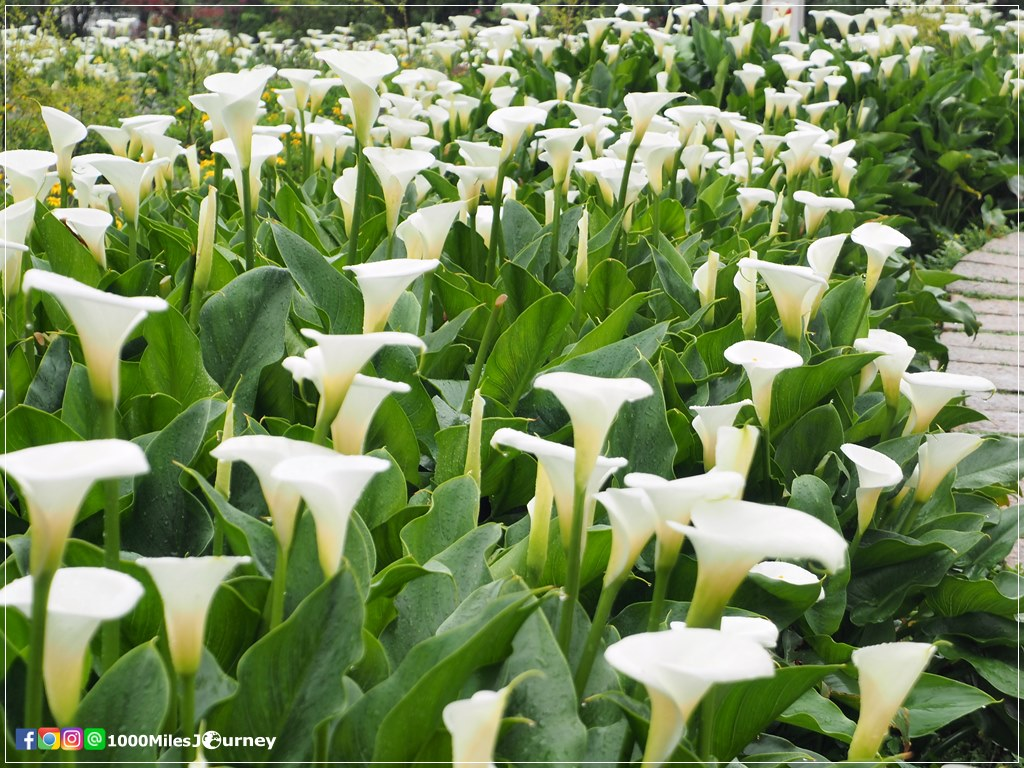 Calla Lily at Yangmingshan