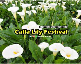 Calla Lily at Yangmingshan