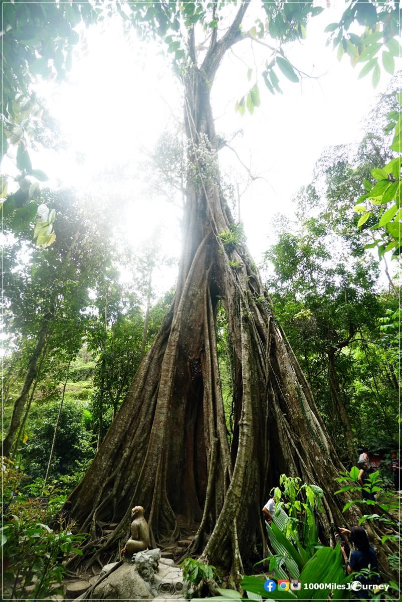 ต้นไม้พันปี เบตง ยะลา