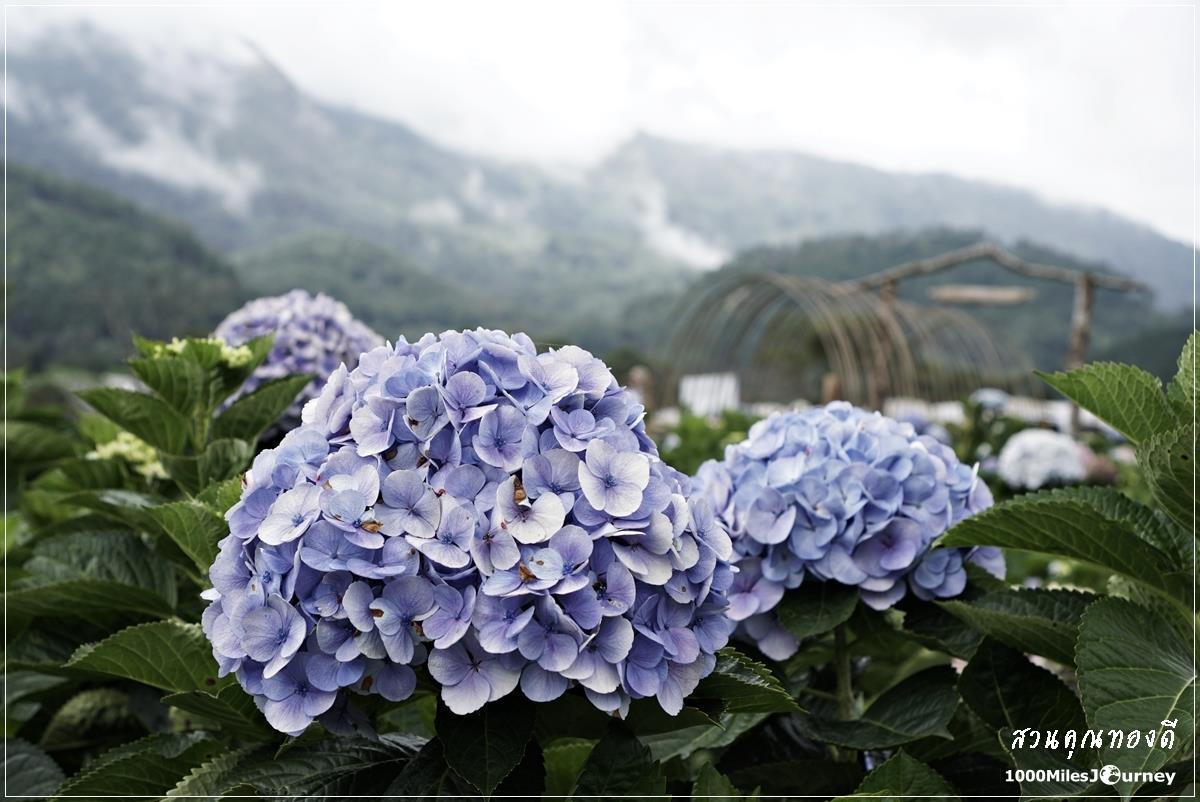 ทุ่งดอกไฮเดรนเยีย สวนคุณทองดี