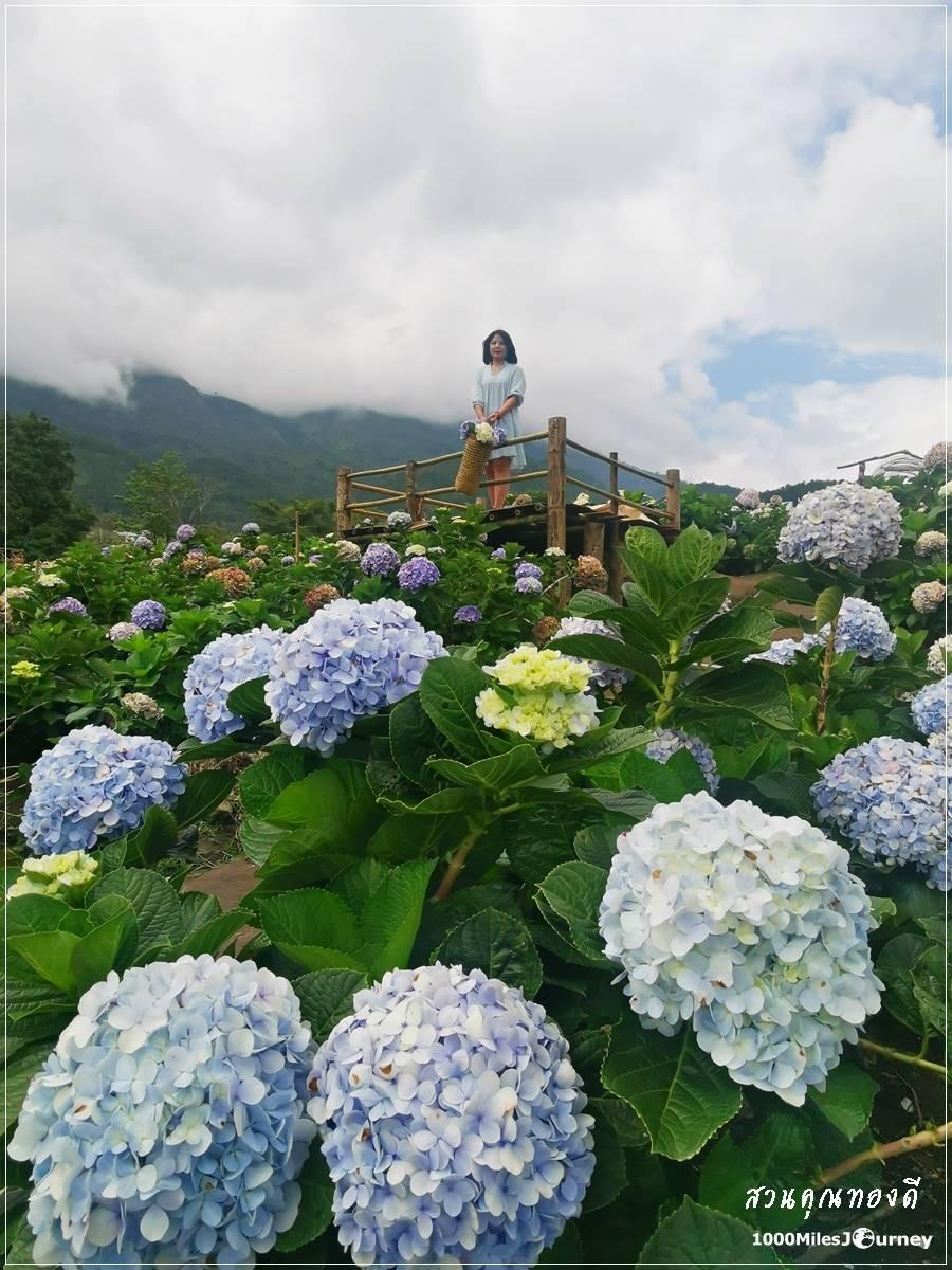 ทุ่งดอกไฮเดรนเยีย