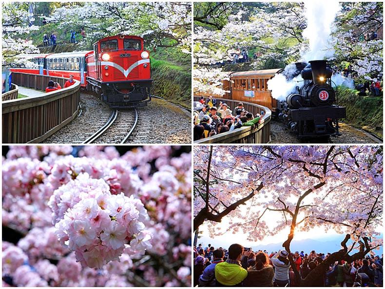 Taiwan Cherry Blossom Festival @ Alishan